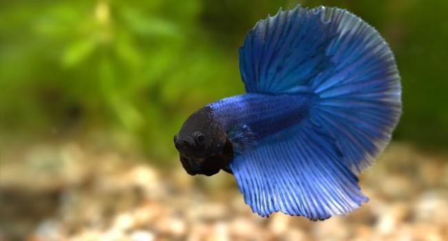 Синий сиамский петушок.