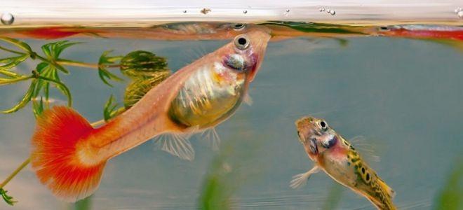 сколько раз кормить рыбок в аквариуме