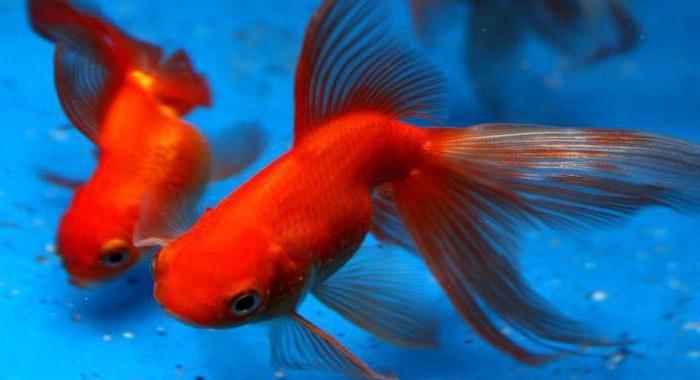 сколько живут золотые рыбки