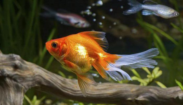 сколько живут золотые рыбки в аквариуме