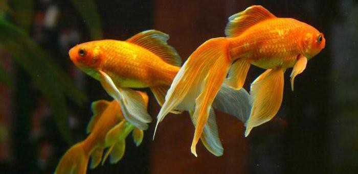 сколько лет живут золотые рыбки