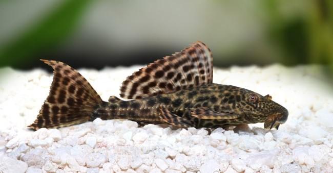 Популярная рыбка сомик.