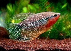 Гурами рыбки