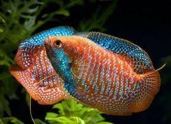 аквариумные рыбы гурами