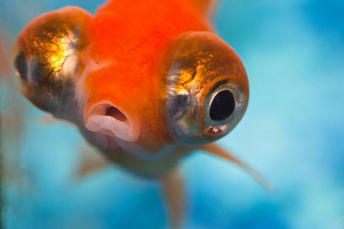 смешная рыба название