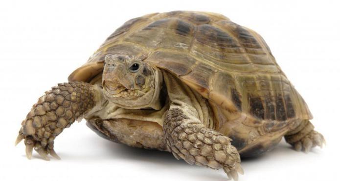 черепаха каймановая chelydra serpentina