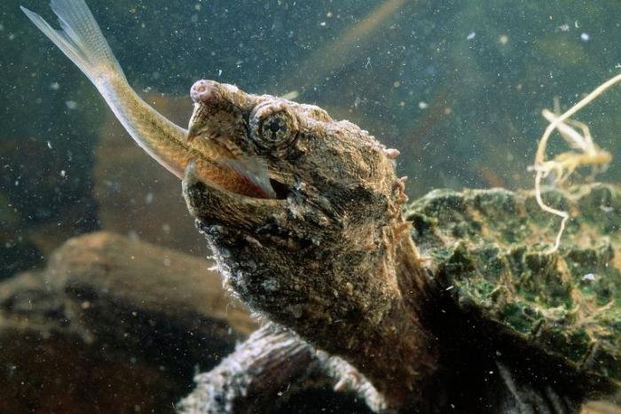 каймановые черепахи нападают