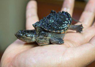 каймановые черепахи в аквариуме