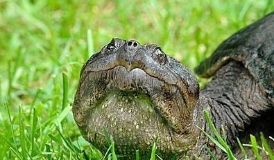 каймановая черепаха дома