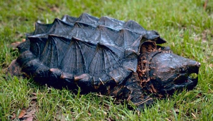каймановых черепах