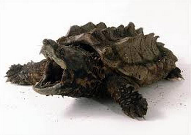 каймановая черепаха фото