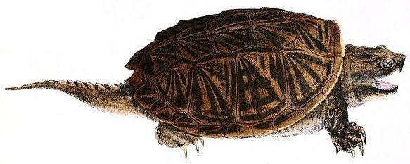 каймановая черепаха содержание
