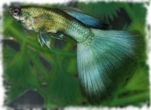 гуппи сине-зеленые