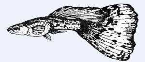 гуппи веерохвостые