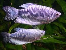 гурами мраморный самец и самка фото