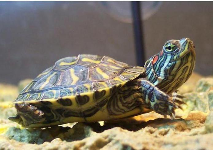 сколько может не есть красноухая декоративная черепаха