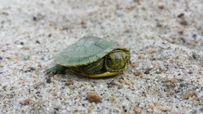 декоративная красноухая черепаха уход