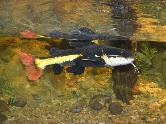 Крупная, красивая рыба.