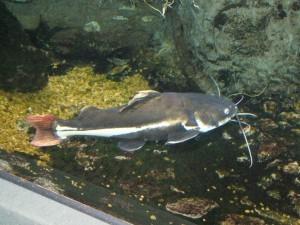 сом краснохвостый аквариумный