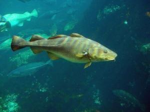 сонник рыба живая