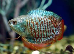 Гурами - совместимость с другими рыбами