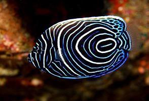 таблица совместимости аквариумных рыбок неонов