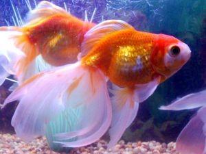 Аквариумные рыбки и их родина 1