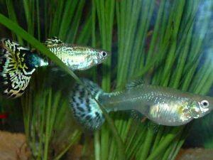 Аквариумные рыбки и их родина 2