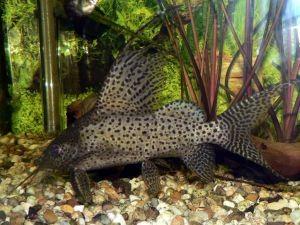 Аквариумные рыбки и их родина 3