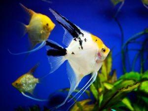 Аквариумные рыбки и их родина 5