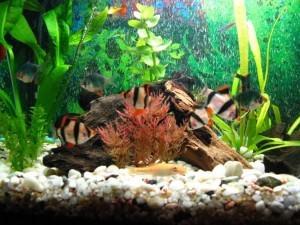 Барбусы совместимость с другими рыбками