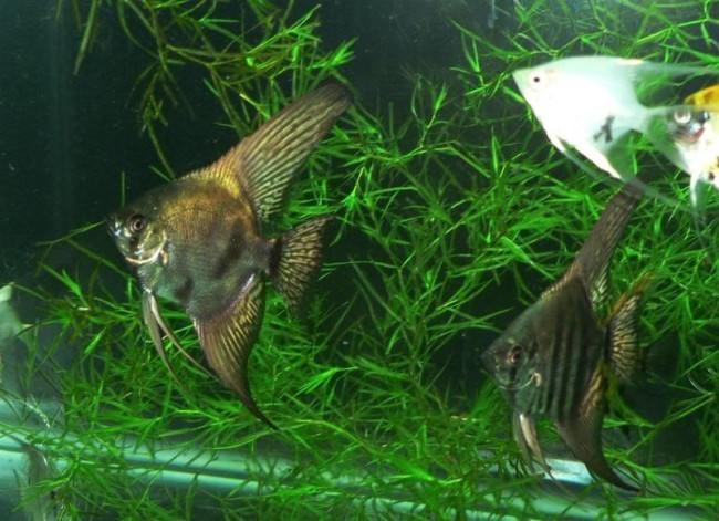 Нерест в аквариуме скалярий.