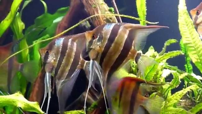 Стая аквариумных скалярий.