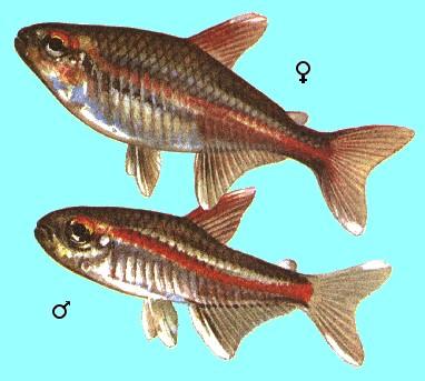 Тетра светлячок эритрозонус самец и самка