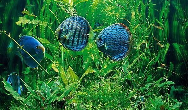 Почему у рыбки вздулся глаз и сверху помутнел