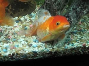 У рыбки вздулся живот