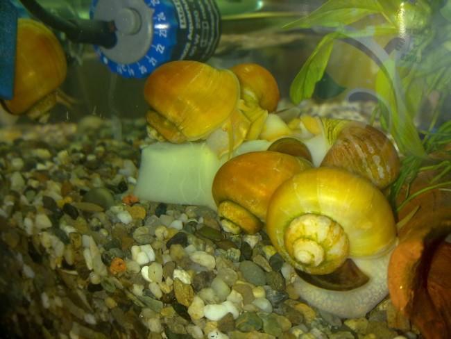 Группа улиток на дне аквариума.