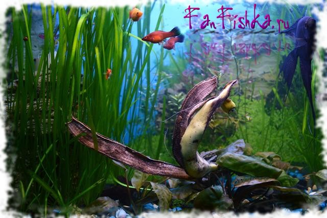 банан от улиток в аквариуме