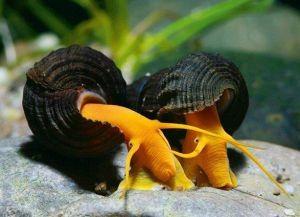 Улитки в аквариуме5