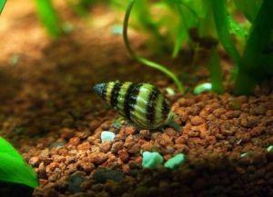 Улитки в аквариуме6