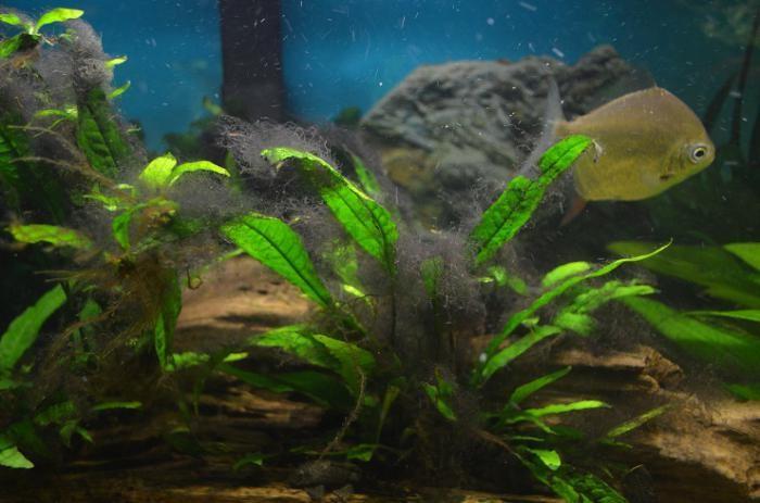 аквариум черная борода как избавиться