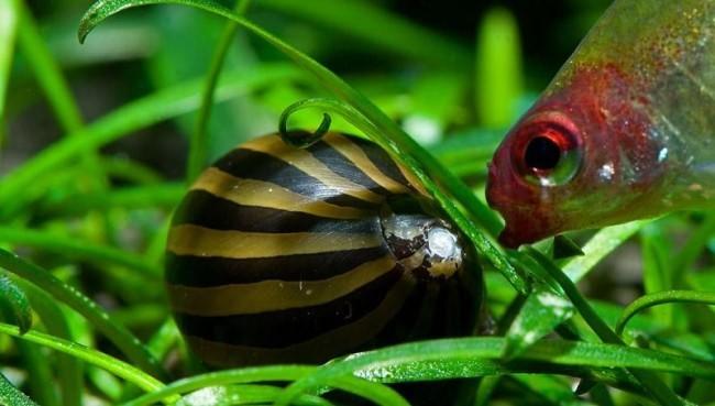 Аквариумная улитка и рыбка.