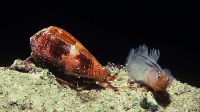 Морская улитка напала на рыбу.