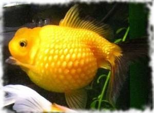 рыбка жемчужина