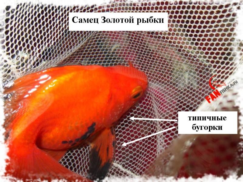 самец золотой рыбки отличия
