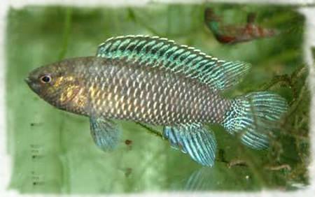 бадиевые рыбы