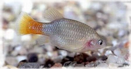 гудиевые рыбы