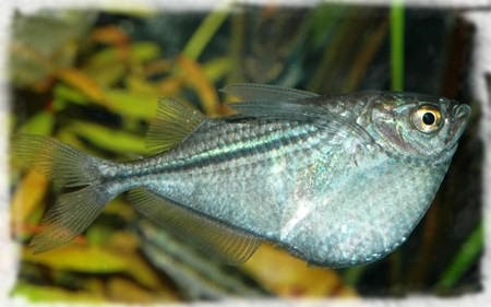 клинобрюхие рыбы