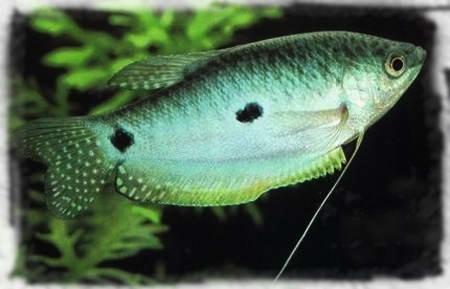 лабиринтовые рыбы