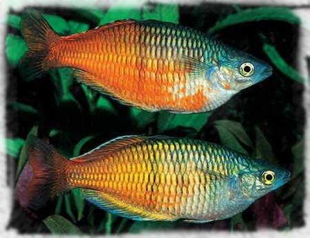 мелантиевые рыбы